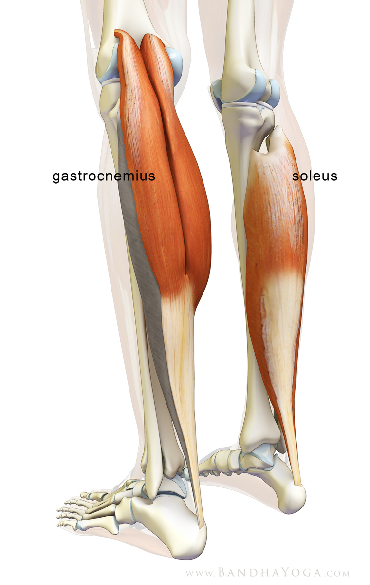 The Daily Bandha The Gastrocnemiussoleus Complex In Yoga