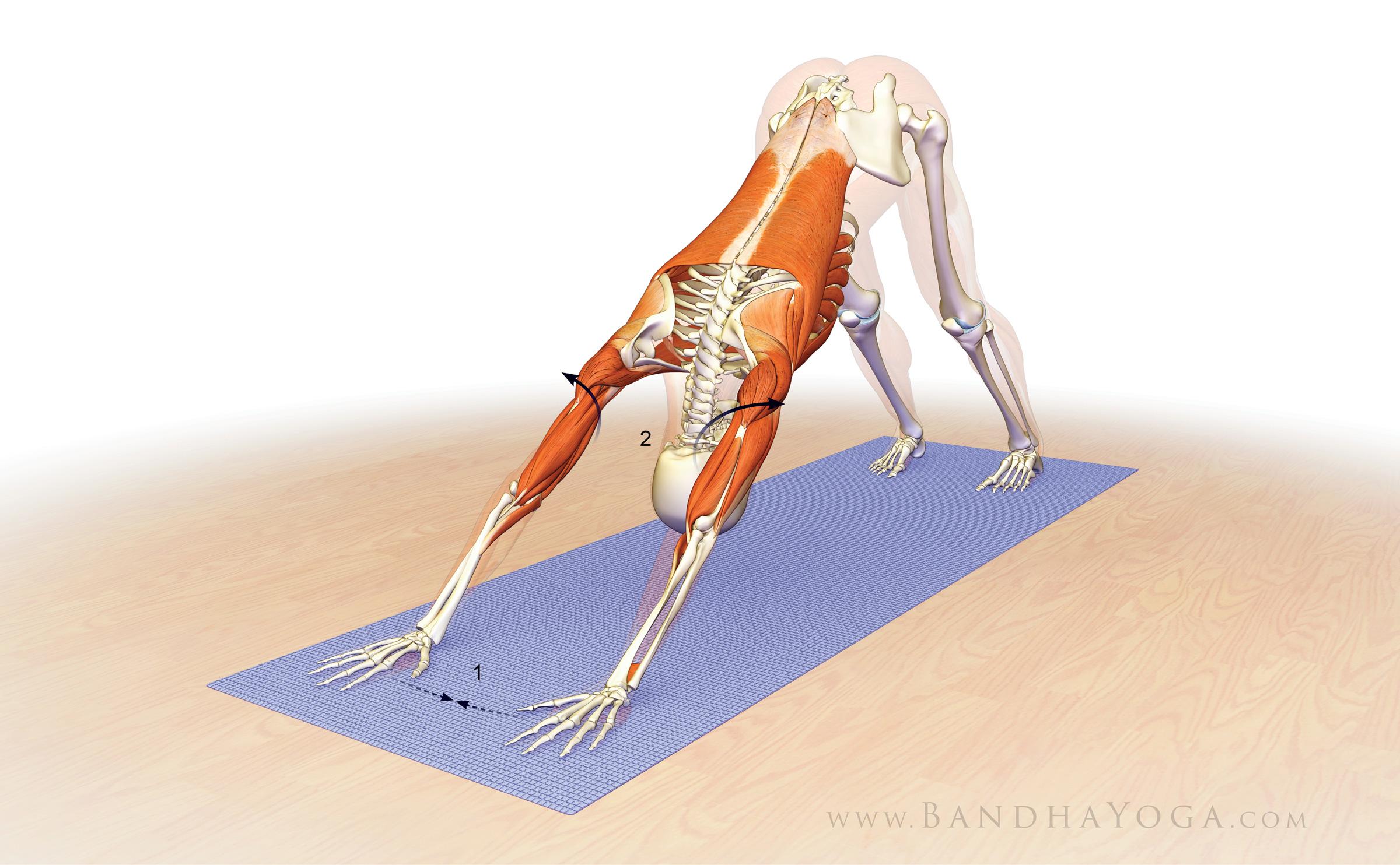 Online Yoga Teacher Ed Dr. Ray Long on Stabilizing the Shoulder ...