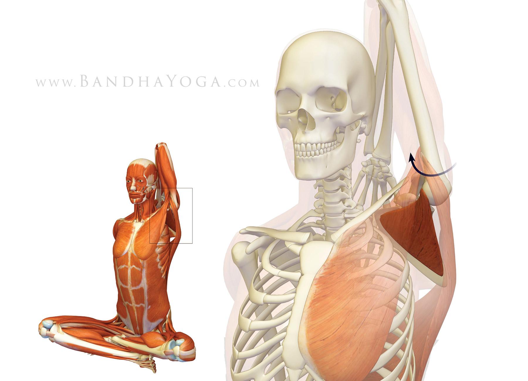 Shoulder Biomechanics Part I