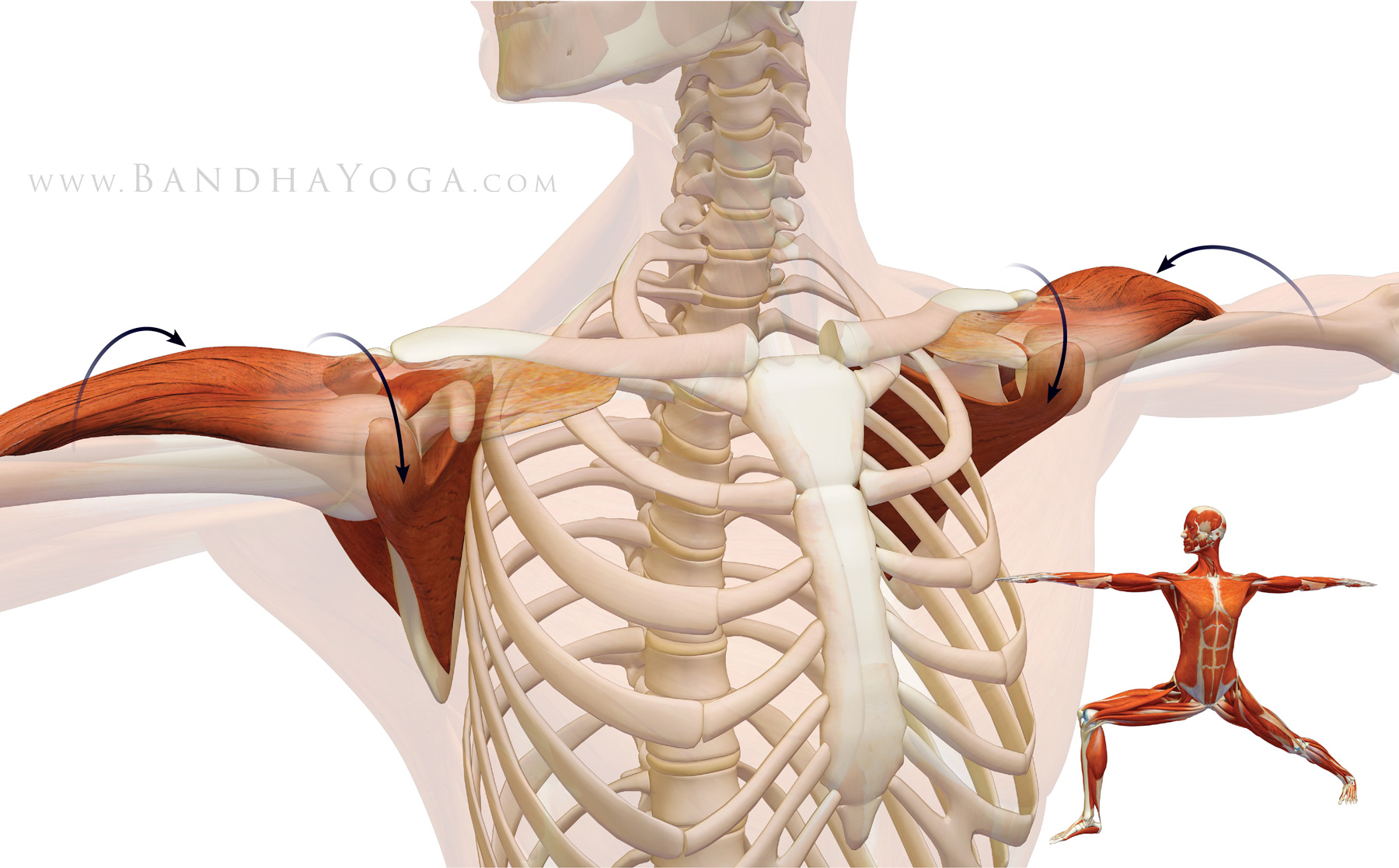 biomechanics of the shoulder Chronic shoulder problems are the most common upper extremity problem in the  general population and in sports these injuries can occur at any age but are.