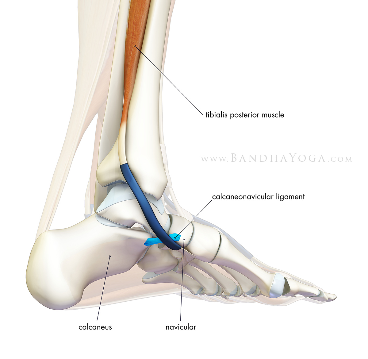 The calcaneo-na... Foot Arch Muscles