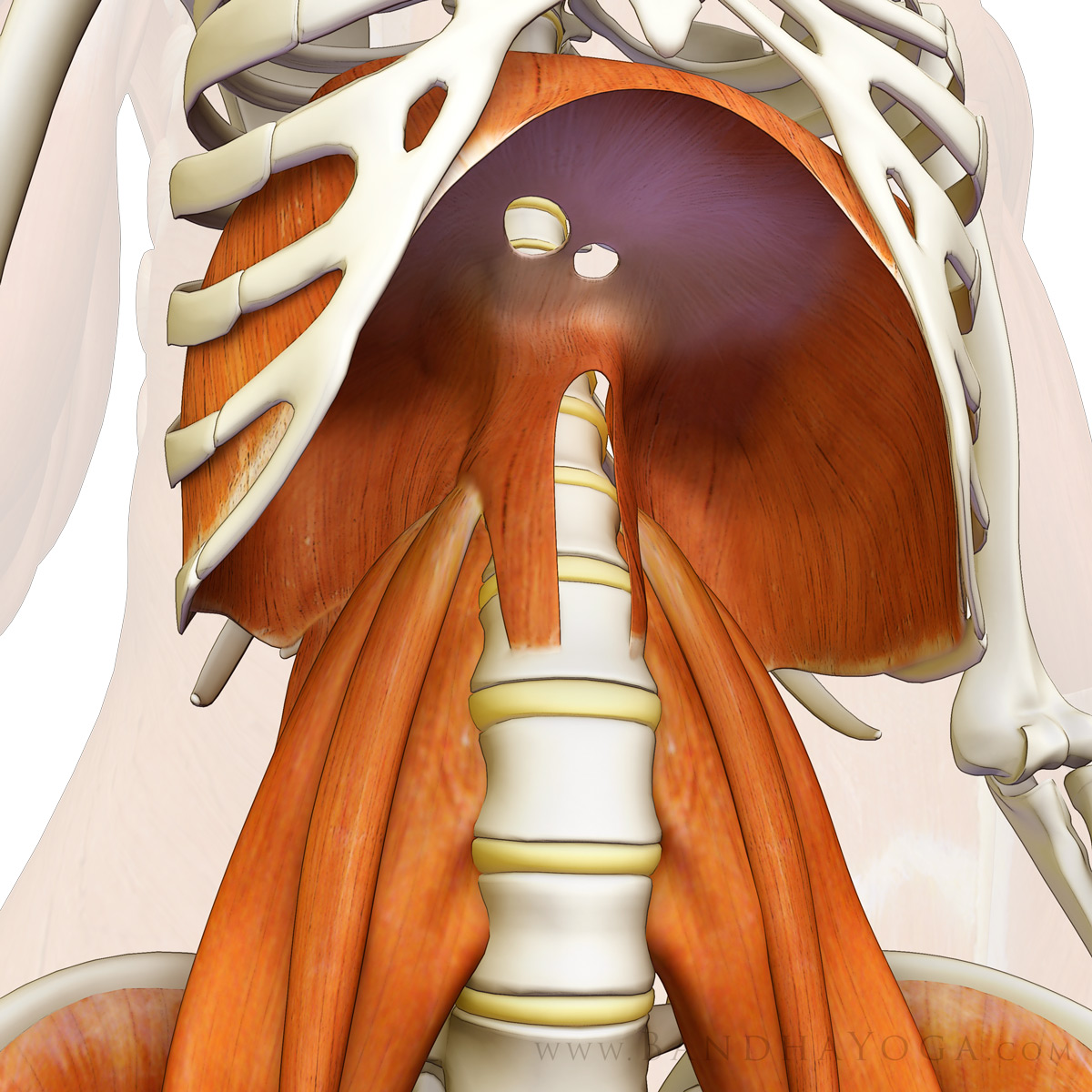Psoas Major Muscle Cadaver
