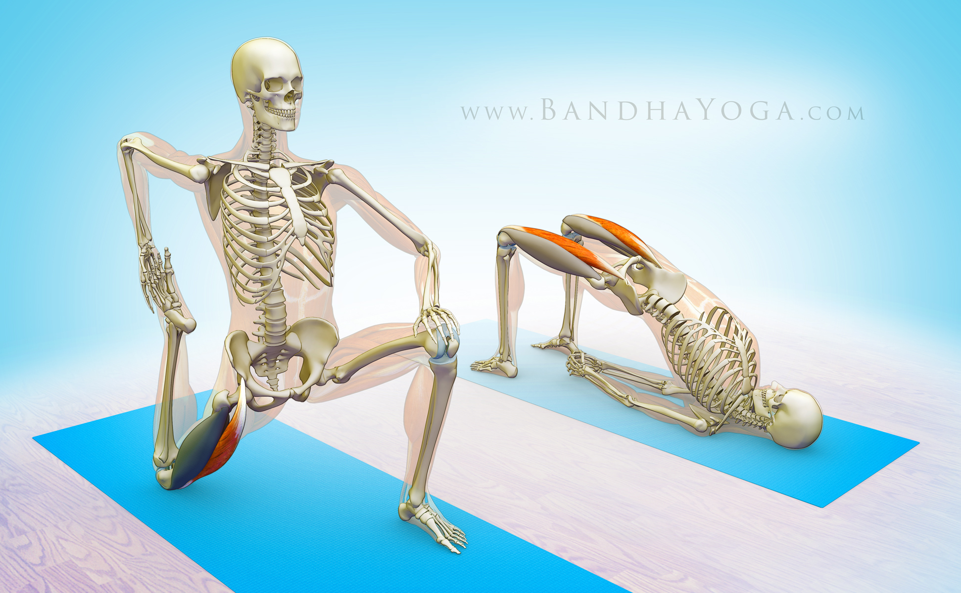 The Daily Bandha: The Rectus Femoris Muscle in Yoga