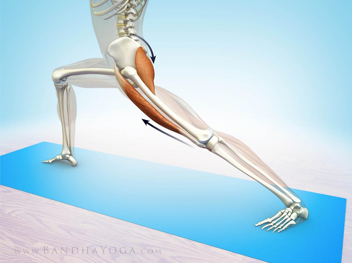 Yoga Anatomy The Rectus Femoris Muscle In Yoga Yogauonline