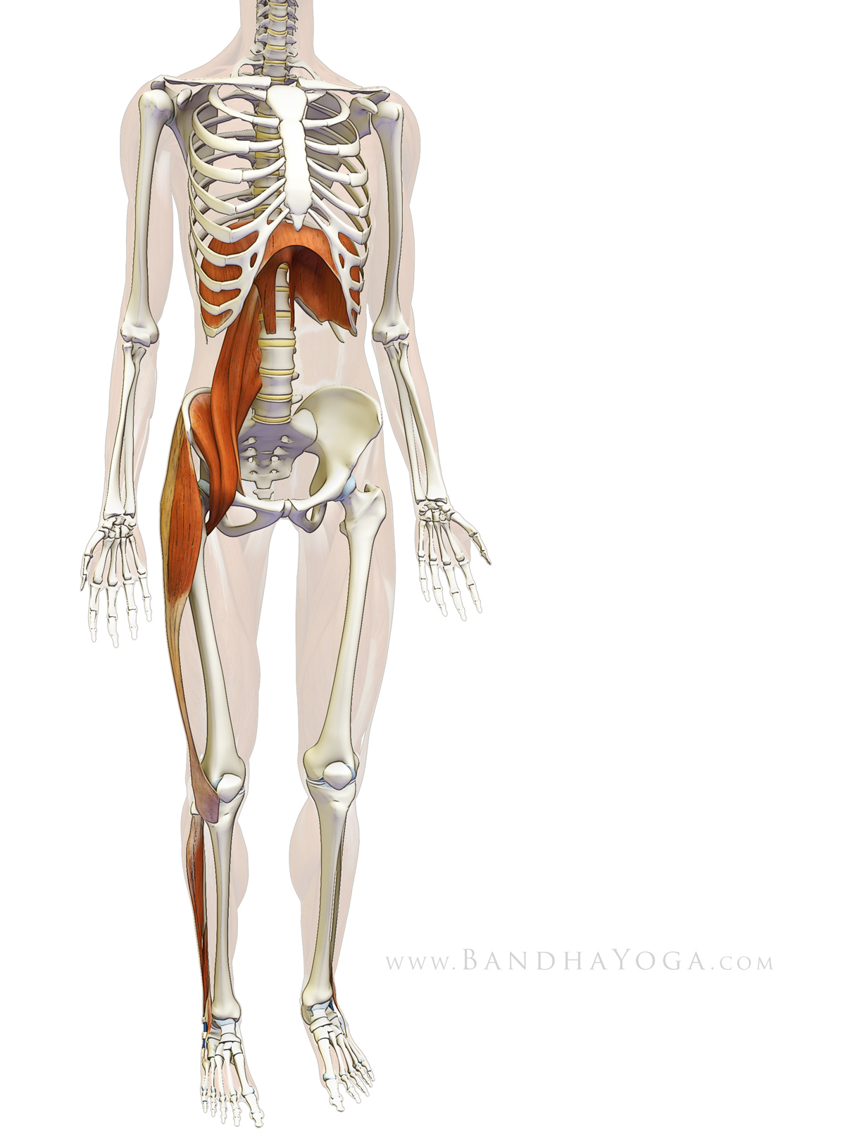 The Daily Bandha: Sankalpa, Visualization and Yoga: The Diaphragm ...