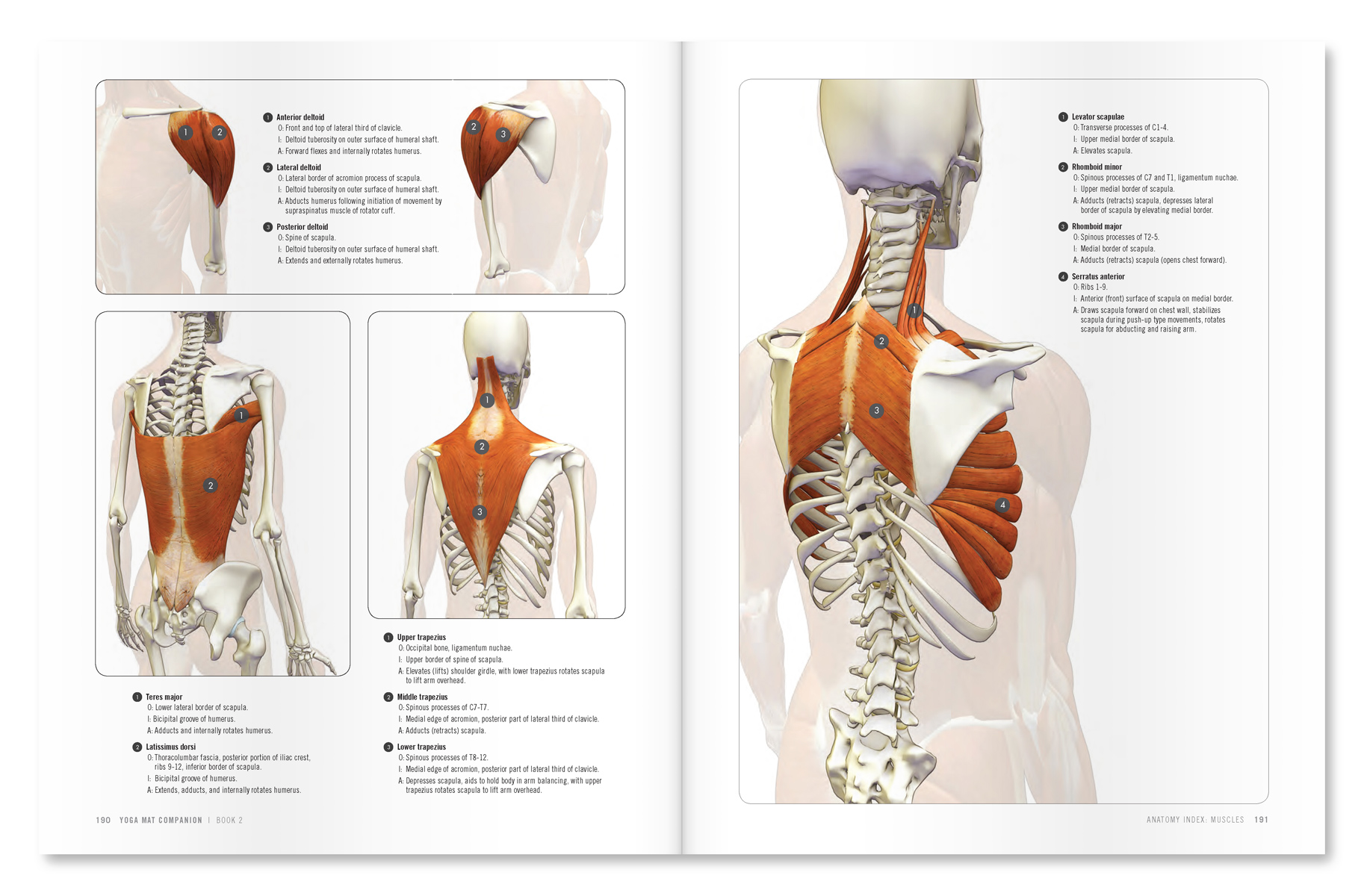The Daily Bandha: Shoulder Kinematics in Yoga Part II: The Lower ...