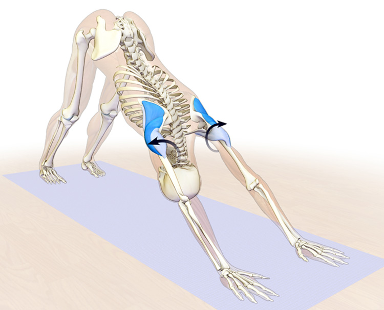 the rotator cuff and deltoids in downward facing dog pose