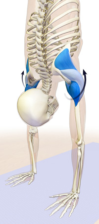 the rotator cuff and deltoids in full arm balance