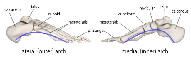lateral, medial, arches of the foot