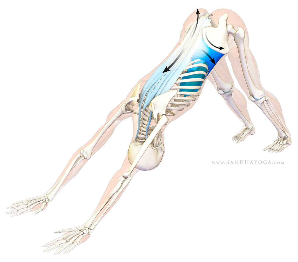 thoracolumbar fascia - downward facing dog